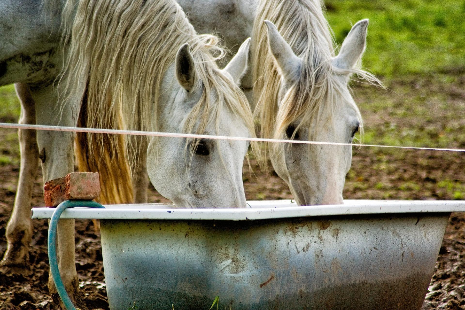 סוסים שותים